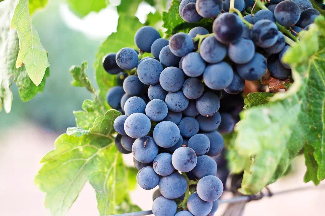 世界上最古老的葡萄品种之一
