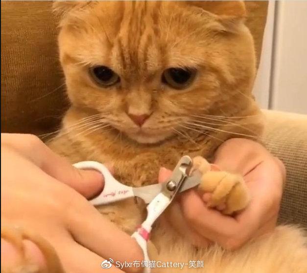 猫咪指甲剪在透明的尖端,指甲内有粉色部位勿剪