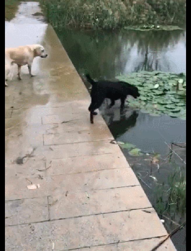 狗狗心不在焉走在湖面桥上,直接掉进了湖里,狗:我只是想洗澡