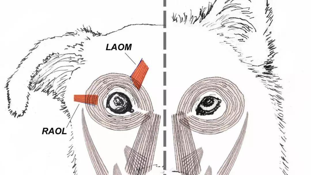 狗和狼的眼部肌肉结构差别很大