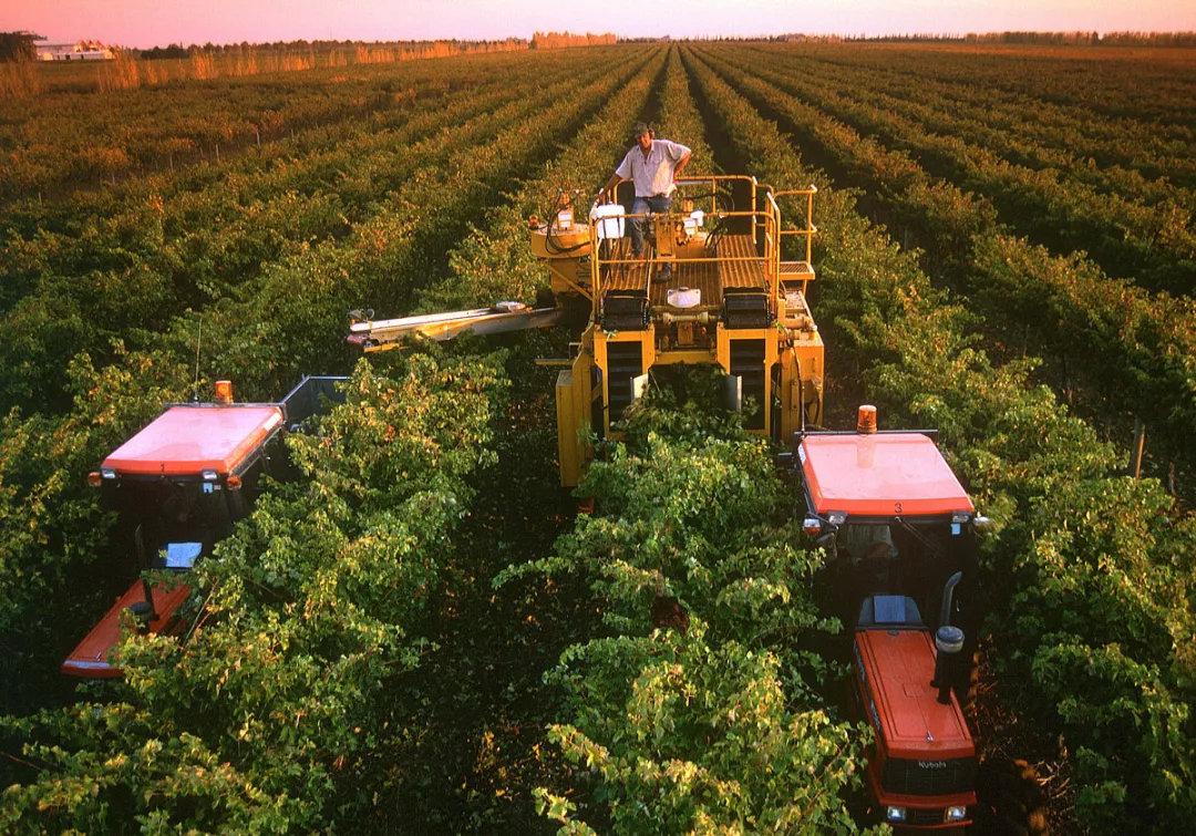 在库纳瓦拉采收葡萄的情景——这里以出产赤霞珠而闻名。南澳的收成季从二月份开始。