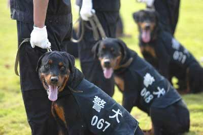 罗威纳作为警犬