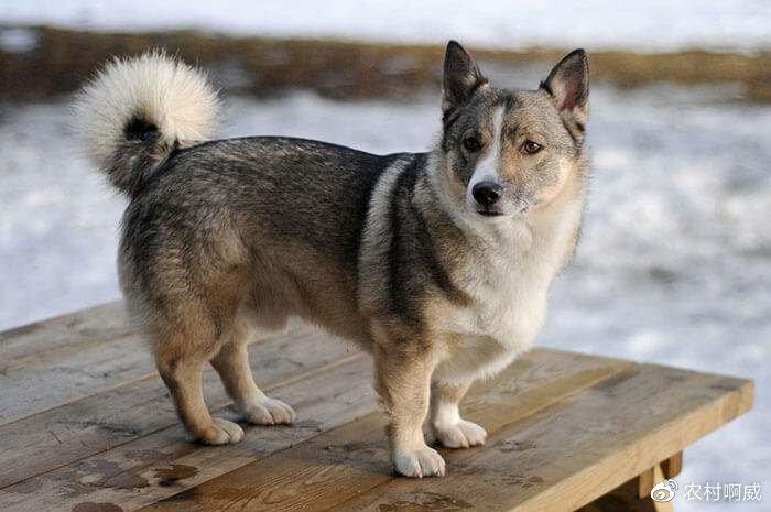 瑞典柯基犬(图片来自网络)