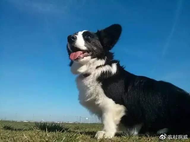 卡迪根-威尔士柯基犬(图片来源网络)