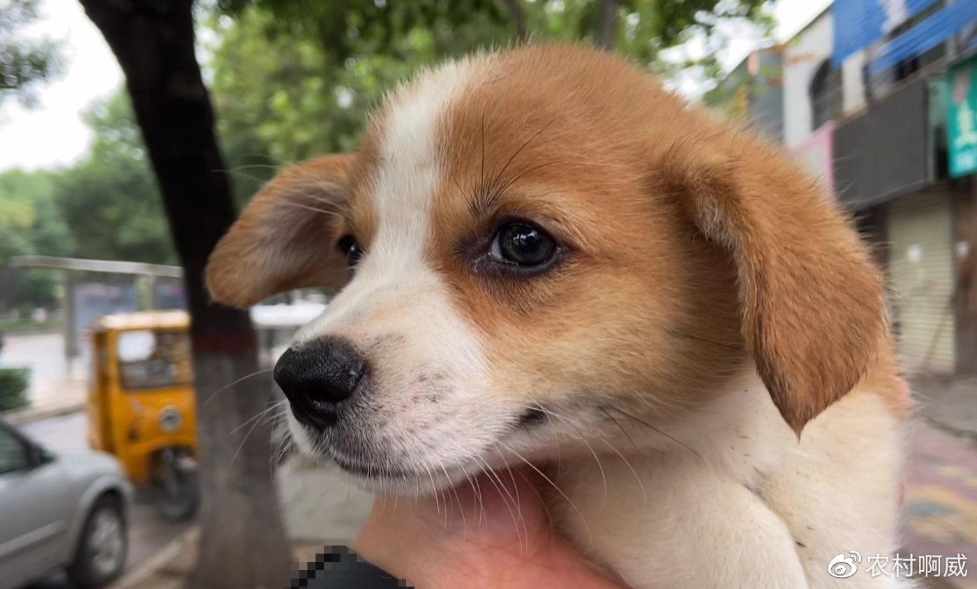 彭布罗克-威尔士柯基犬