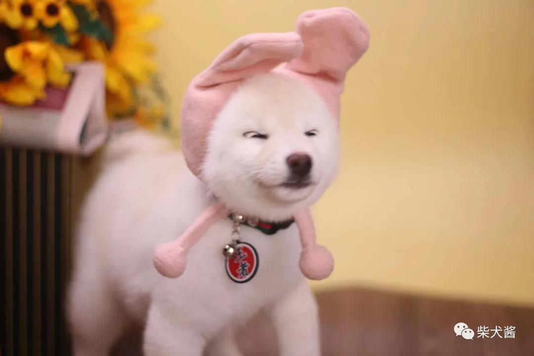 柴犬幼犬都有黑口罩吗?能褪掉吗?
